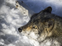 Gray wolf Royalty Free Stock Images