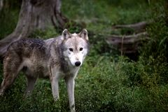 Gray wolf looking at you in a field Royalty Free Stock Photos