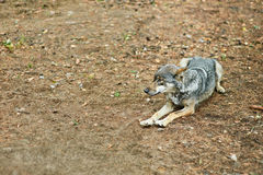 Gray wolf lying Royalty Free Stock Image