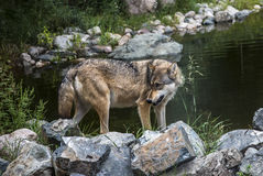 Wolf turning toward the rear with a menacing look Royalty Free Stock Photo