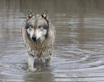 Gray Wolf met Groene Ogen die zich in een Meer bevinden royalty-vrije stock afbeelding