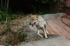 Gray wolf in Moscow Zoo. Eurasian gray wolf runs in aviary in Moscow Zoo Royalty Free Stock Images