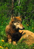 Gray Wolf Mother and Pup Royalty Free Stock Photos