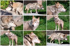 Gray Wolf. Nice close up portraits of gray wolf Royalty Free Stock Image
