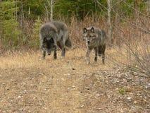 Gray Wolf Pair Walking. Two Gray Wolves walking along logging road near Golden, British Columbia, Canada Royalty Free Stock Image