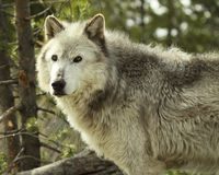 Gray Wolf Pausing Royalty Free Stock Image