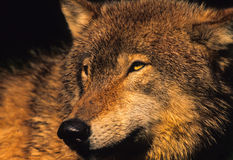 Gray Wolf Portrait. A close up side portrait of a gray wolf Royalty Free Stock Photography