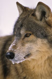 Gray Wolf Portrait. A close up portrait of a wolf with a snowy face Stock Photos