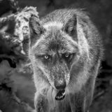 Gray Wolf portrait in black and white. A black and white  portrait of a Gray Wolf with it tongue hanging out of its mouth Stock Images