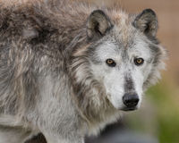 Gray wolf portrait Stock Images