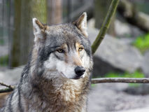 Gray wolf portrait royalty free stock images