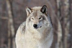 Gray wolf portrait Stock Image