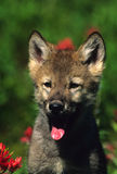 Gray Wolf Pup. A young wolf pup sitting with its tongue out Stock Image