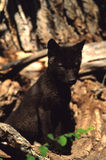 Gray Wolf Pup. A black wolf pup at den entrance Royalty Free Stock Photos