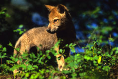 Gray Wolf Pup. A cute gray wolf pup standing in brush Royalty Free Stock Image