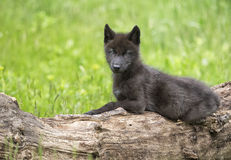Gray wolf pup Royalty Free Stock Images