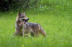 Gray Wolf with pup in green grass. Stock Photo