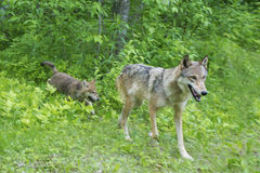 Gray Wolf with pup in green grass. Royalty Free Stock Image