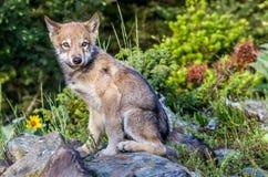 Gray Wolf Pup que se sienta Imágenes de archivo libres de regalías