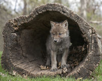 Gray Wolf Pup. Young gray wolf, or timber wolf pup emerging from a hollowed out log.  Springtime in Wisconsin Royalty Free Stock Photos