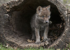 Gray Wolf Pup. Young gray wolf, or timber wolf pup emerging from a hollowed out log.  Springtime in Wisconsin Royalty Free Stock Photo