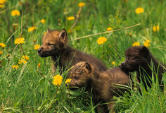 Gray Wolf Pups Stock Images
