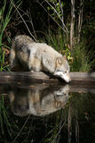Gray Wolf Reflections Royalty Free Stock Photo