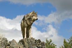 Gray wolf on ridgeline. Gray wolf against a Montana sky Stock Photo