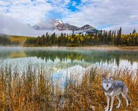 Gray wolf in the Rockies. The concept of ecological tourism. Gray Canadian wolf in the Rockies of Canada. Morning mist spreads over the forest Royalty Free Stock Photos