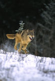 Gray Wolf Running Stock Image