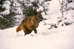 Gray Wolf Running in Snow. A gray wolf running through deep snow Stock Images