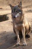 Gray Wolf Sitting Royaltyfria Bilder