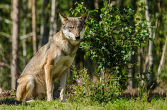Gray wolf sitting Stock Photos