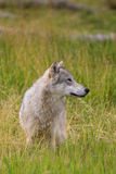Gray Wolf Sitting in Grass Royalty Free Stock Images