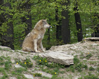 Gray Wolf sitting on small hill Royalty Free Stock Photography