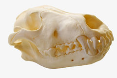Gray Wolf Skull. Alaskan Gray Wolf skull isolated on a white background Royalty Free Stock Image