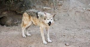 Gray Wolf Snarls mexicano um aviso fora de seu antro Foto de Stock Royalty Free