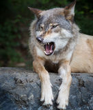 Gray wolf snarls Royalty Free Stock Photography