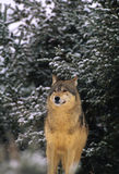 Gray Wolf in Snow Stock Image