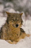 Gray Wolf in Snow Royalty Free Stock Images