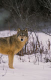 Gray Wolf in Snow. A gray wolf standing in deep snow Royalty Free Stock Photo