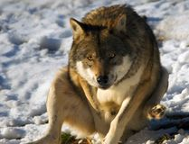 Gray wolf in snow stock images