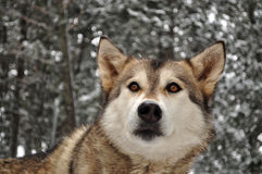 Husky in a snowy forest Stock Photo