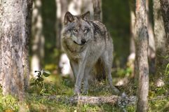Free Gray Wolf Standing Among Forest Trees Stock Images - 128254194