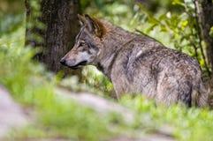 Gray Wolf Standing bak kullen som ser lämnad royaltyfri foto