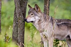 Gray Wolf Standing in front of trees looking left. royalty free stock photo
