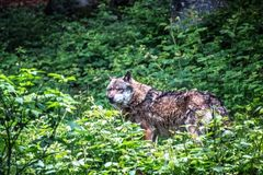 Gray wolf standing on the grass royalty free stock photo