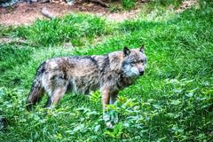 Gray wolf standing on the grass royalty free stock image
