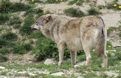 Gray Wolf standing in natural ambiance Stock Images