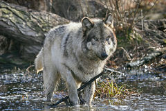 Gray wolf standing in  a swamp Royalty Free Stock Photo